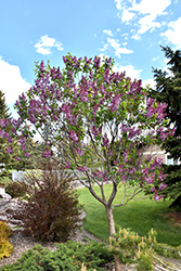 Sensation Lilac (Syringa vulgaris 'Sensation') at Stein's Garden & Home