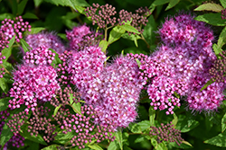 Anthony Waterer Spirea (Spiraea x bumalda 'Anthony Waterer') at Stein's Garden & Home