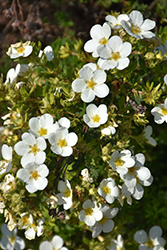 McKay's White Potentilla (Potentilla fruticosa 'McKay's White') at Stein's Garden & Home