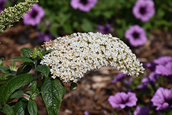 Pugster® White Butterfly Bush (Buddleia 'SMNBDW') at Stein's Garden & Home