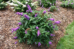 Pugster® Periwinkle Butterfly Bush (Buddleia 'SMNBDO') at Stein's Garden & Home