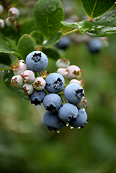 Duke Blueberry (Vaccinium corymbosum 'Duke') at Stein's Garden & Home