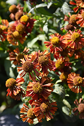 Ruby Tuesday Sneezeweed (Helenium 'Ruby Tuesday') at Stein's Garden & Home