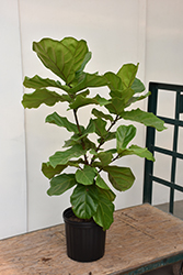 Fiddle Leaf Fig (Ficus lyrata) at Stein's Garden & Home