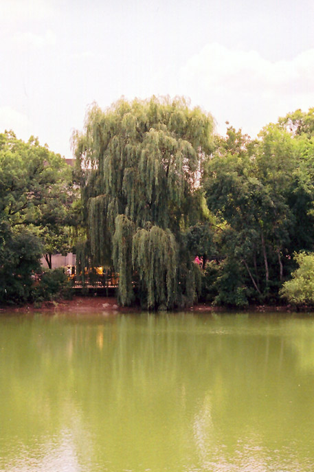 Wisconsin Weeping Willow Salix X Pendulina Wisconsin