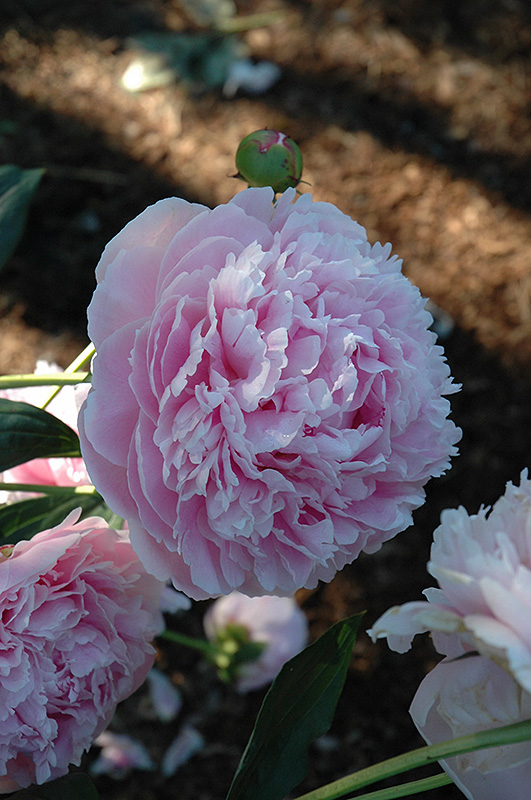 Shirley Temple Peony Paeonia Shirley Temple In