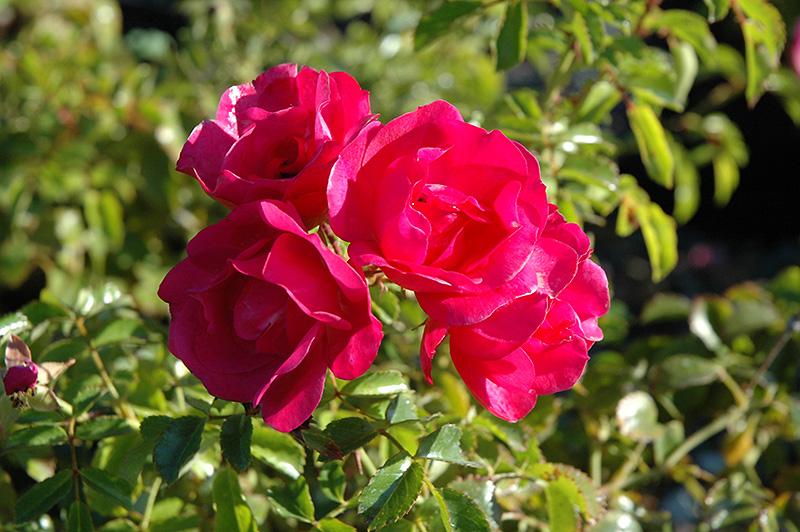 Flower Carpet Pink Rose Rosa Flower Carpet Pink In