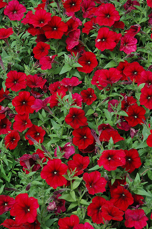 Easy Wave Red Velour Petunia Petunia Easy Wave Red Velour In