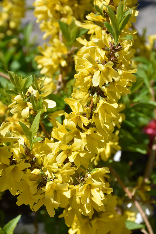 Show Off Starlet Forsythia Forsythia X Intermedia