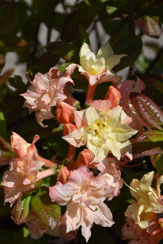Cannon 39 s double azalea rhododendron 39 cannon 39 s double 39 in - Stein s garden home green bay wi ...