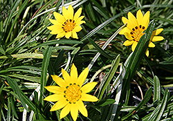 Colorado Gold Gazania (Gazania linearis 'Colorado Gold') at Stein's Garden & Home