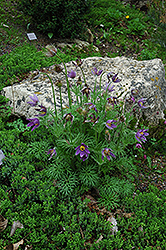 Pasqueflower (Pulsatilla vulgaris) at Stein's Garden & Home