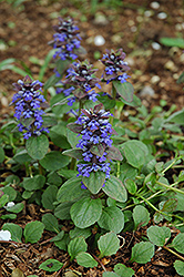 Caitlin's Giant Bugleweed (Ajuga reptans 'Caitlin's Giant') at Stein's Garden & Home