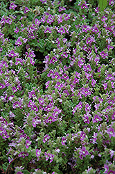 Pink Creeping Speedwell (Veronica repens 'Rosea') at Stein's Garden & Home