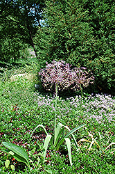 Star Of Persia Onion (Allium christophii) at Stein's Garden & Home