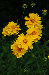 Early Sunrise Tickseed (Coreopsis 'Early Sunrise') at Stein's Garden & Home