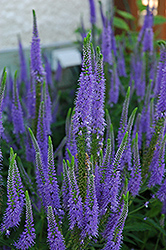 Sunny Border Blue Speedwell (Veronica 'Sunny Border Blue') at Stein's Garden & Home