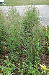 Shenandoah Reed Switch Grass (Panicum virgatum 'Shenandoah') at Stein's Garden & Home