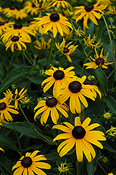 Indian Summer Coneflower (Rudbeckia hirta 'Indian Summer') at Stein's Garden & Home