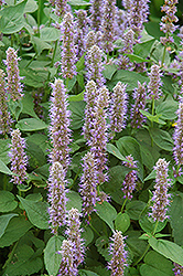 Blue Fortune Anise Hyssop (Agastache 'Blue Fortune') at Stein's Garden & Home