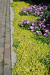 Golden Creeping Jenny (Lysimachia nummularia 'Aurea') at Stein's Garden & Home
