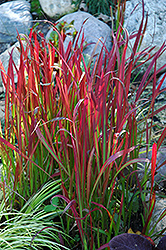Red Baron Japanese Blood Grass (Imperata cylindrica 'Red Baron') at Stein's Garden & Home