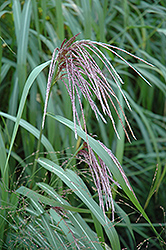 Maiden Grass (Miscanthus sinensis) at Stein's Garden & Home