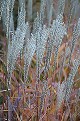 Flame Grass (Miscanthus sinensis 'Purpurascens') at Stein's Garden & Home