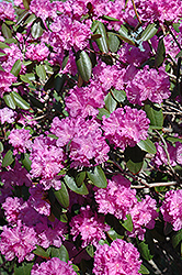 P.J.M. Rhododendron (Rhododendron 'P.J.M.') at Stein's Garden & Home