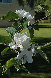 Macintosh Apple (Malus 'Macintosh') at Stein's Garden & Home