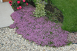 Red Creeping Thyme (Thymus praecox 'Coccineus') at Stein's Garden & Home