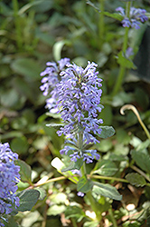 Gaiety Bugleweed (Ajuga reptans 'Gaiety') at Stein's Garden & Home
