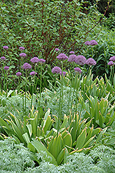 Purple Sensation Ornamental Onion (Allium 'Purple Sensation') at Stein's Garden & Home