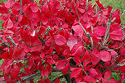 Compact Winged Burning Bush (Euonymus alatus 'Compactus') at Stein's Garden & Home