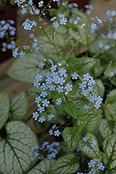 Jack Frost Bugloss (Brunnera macrophylla 'Jack Frost') at Stein's Garden & Home