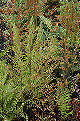 Royal Fern (Osmunda regalis) at Stein's Garden & Home