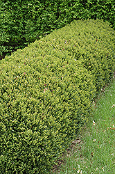 Green Gem Boxwood (Buxus 'Green Gem') at Stein's Garden & Home