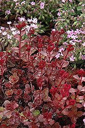 Red Carpet Stonecrop (Sedum spurium 'Red Carpet') at Stein's Garden & Home