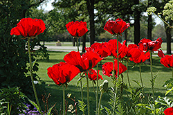 Beauty of Livermere Poppy (Papaver orientale 'Beauty of Livermere') at Stein's Garden & Home