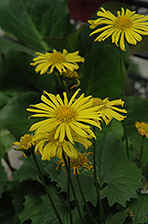 Little Leo Leopard's Bane (Doronicum 'Little Leo') at Stein's Garden & Home