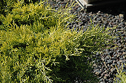 Sea Of Gold Juniper (Juniperus x media 'Sea Of Gold') at Stein's Garden & Home
