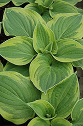 Wide Brim Hosta (Hosta 'Wide Brim') at Stein's Garden & Home
