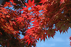Oshio Beni Japanese Maple (Acer palmatum 'Oshio Beni') at Stein's Garden & Home