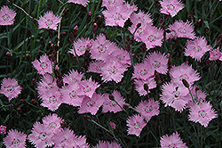 Bath's Pink Pinks (Dianthus 'Bath's Pink') at Stein's Garden & Home
