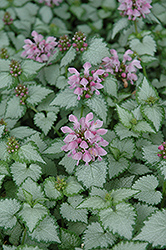 Pink Chablis® Spotted Dead Nettle (Lamium maculatum 'Checkin') at Stein's Garden & Home