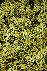 Emerald 'n' Gold Wintercreeper (Euonymus fortunei 'Emerald 'n' Gold') at Stein's Garden & Home