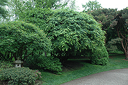 Japanese Maple (Acer palmatum) at Stein's Garden & Home