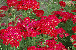 Pomegranate Yarrow (Achillea millefolium 'Pomegranate') at Stein's Garden & Home