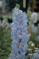 Magic Fountains Sky Blue Larkspur (Delphinium 'Magic Fountains Sky Blue') at Stein's Garden & Home