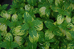 Variegated Ginger Mint (Mentha x gracilis 'Variegata') at Stein's Garden & Home